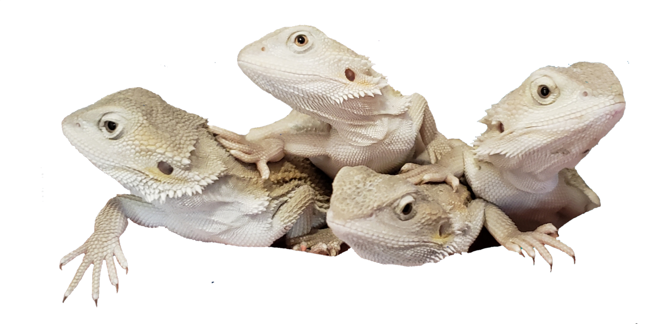Gnarly Dragons – Quality Bearded Dragons